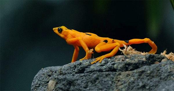 """""""Siêu nấm"""" nguy hiểm đe dọa loài ếch vàng cực kỳ nguy cấp"""