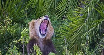 """Hài hước sư tử """"cười đểu"""" khi nhiếp ảnh gia chụp trộm"""