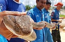 Thót tim truy bắt rắn hổ chúa dài 4 m trong ống cống