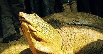 Những phen thoát chết của rùa Hoàn Kiếm ở Đồng Mô