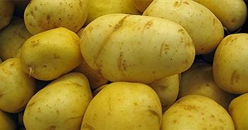 Chế tạo nhựa từ khoai tây