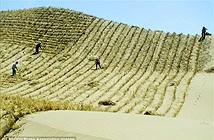 'Trường Thành xanh' sẽ cứu Trung Quốc khỏi bão cát?