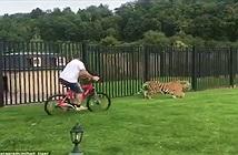 Hổ lừ lừ tiến đến người đi xe đạp rồi xử sự gây sốc