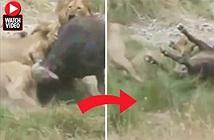 Bầy sư tử tấn công trâu rừng đi lạc, kịch tính đến phút chót