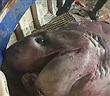 Bắt được cá mập khổng lồ 700kg, dài gần 6m, vội thả về biển