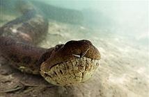 Run rẩy xem thợ lặn đối đầu trăn anaconda khổng lồ dài 6m