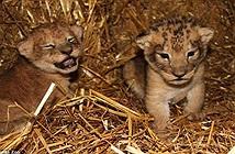 Phẫn nộ giết 9 sư tử con khỏe mạnh vì sợ lớn không nuôi nổi