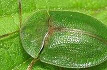 Cách làm chuyện ấy kỳ lạ của loài bọ có dương vật dài hơn cơ thể