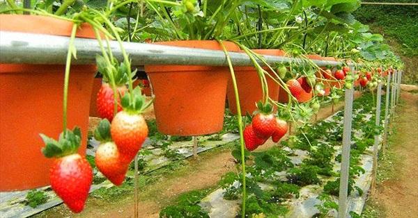 Cách trồng và chăm sóc dâu tây tại nhà cho trái chín đỏ mọng