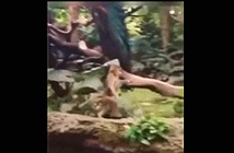 Đỉnh: Khỉ nhỏ nhào lộn trình ngang Tôn Ngộ Không gây sốt