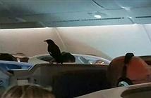 Sáo đen khôn lỏi đi lậu máy bay suốt 12 tiếng mà không ai biết