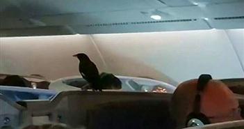Sáo đen khôn lỏi 'đi lậu' máy bay suốt 12 tiếng mà không ai biết