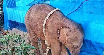 Xót xa bé voi bị kẻ săn trộm hành hạ đến chết
