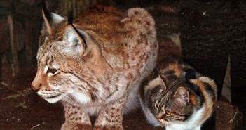 Kinh ngạc mèo hoang nhận linh miêu làm mẹ, sống hạnh phúc vô cùng