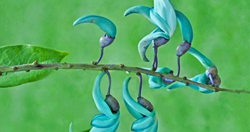 Kỳ bí loài hoa móng vuốt ngọc xanh vừa đẹp vừa đáng sợ
