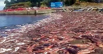 Hơn 10.000 con mực quỷ đỏ chết la liệt trên bãi biển Chile