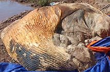 Giữ lại bộ xương cá voi nặng 10 tấn ở Bạc Liêu