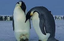Sao chim cánh cụt đẻ trứng mùa đông không bị đóng băng?