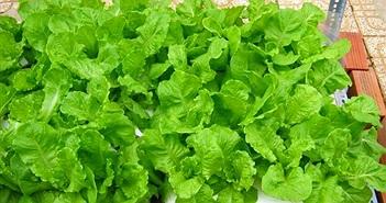 Kỹ thuật trồng rau cải xanh trong thùng xốp tại nhà