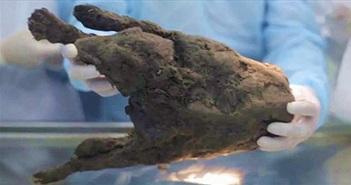 Rã đông xác ướp của con chó từ 12.400 năm trước để hồi sinh