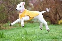 Cừu nhỏ hóa thành chó con và cuộc đời đáng thương đằng sau