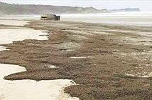Rợn người trước cảnh hàng triệu con bọ phủ kín đen kịt trên bãi biển