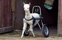 Cô gái nặng lòng với thú cưng tìm kiếm xe lăn cho lạc đà
