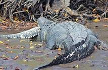 Con cá sấu bị cá sấu khổng lồ ăn thịt