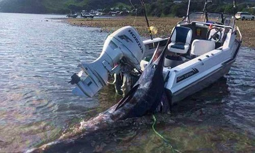 Bắt được cá khổng lồ, loay hoay không mang nổi lên thuyền