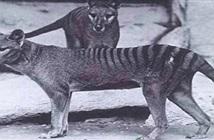 Hổ Tasmania sắp được cải tử hoàn sinh
