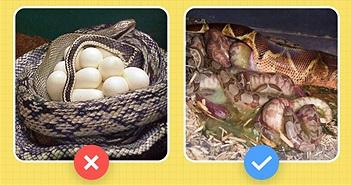 Những điều ai cũng nhầm về trăn Anacoda