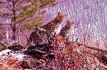 Camera giấu kín chụp được ảnh báo Amur siêu quý hiếm
