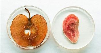 Tạo tai người bằng táo - Dự án siêu vi diệu của nhân loại