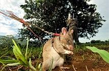 Dùng chuột anh hùng để dò mìn