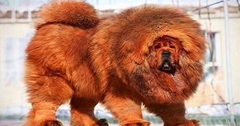 Video: Chó sói xui xẻo đụng phải chó ngao Tây Tạng và cái kết đẫm máu