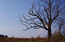 Kỳ bí cây của quỷ hơn 200 tuổi