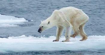 Bức ảnh gấu Bắc Cực gầy trơ xương gây chấn động