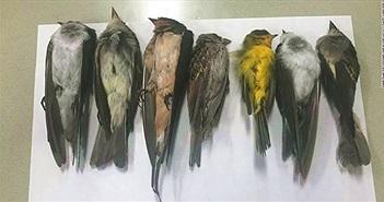 Hàng trăm nghìn con chim di cư chết bí ẩn ở Mỹ