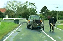 Xót xa bê con bị bắt, bò mẹ đuổi theo đầy bất lực