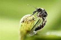 Nhật Bản đã tìm ra thuốc diệt sạch ấu trùng sốt xuất huyết