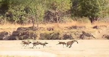 Cướp thức ăn, linh cẩu bị cả bầy chó hoang truy sát