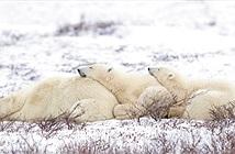 Ảnh động vật tuần: Gấu bắc cực tận hưởng mùa đông, giải cứu hổ...