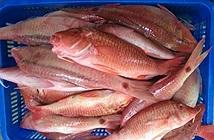 Khám phá về loài cá phèn dị có ở Việt Nam