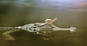 Cá sấu và ốc sên chạm trán, cá sấu bỗng hiền lạ