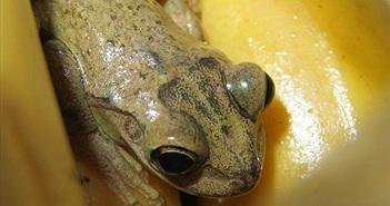 Hành trình hơn 8.000 km sang Anh gây choáng của 1 chú ếch