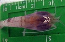 Kình dị loại tôm sống sâu 5000m chấp nước nóng 450 độ