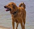 Chú chó vượt 100km quay về cắn chủ vì điều bất ngờ