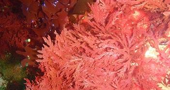 Băng gạc thế hệ mới từ tảo biển có thể cầm máu nội thương chỉ trong vài phút