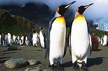 Nhà khoa học sayvì khí cười trong phân chim cánh cụt