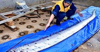 Ngư dân bắt được con cá lạ dài 3 mét dạt vào bờ